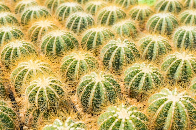 サボテンは、植え付けのための鉢の中の多くの変種を選択してソフトフォーカスに配置します。 Premium写真