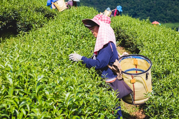 若い緑茶を持っている地元の山岳部族の女性は、夕方の丘の上に葉 Premium写真