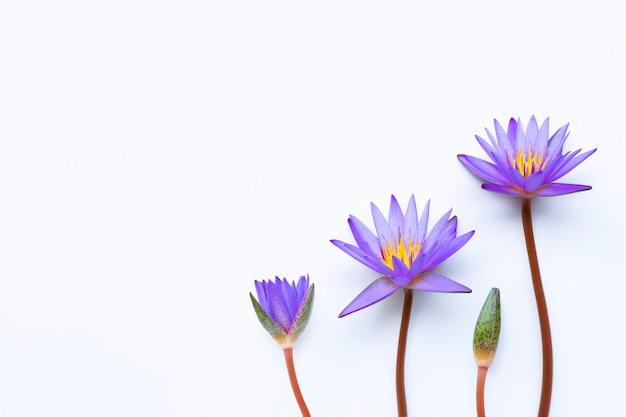 白に咲く紫色の蓮の花。 Premium写真