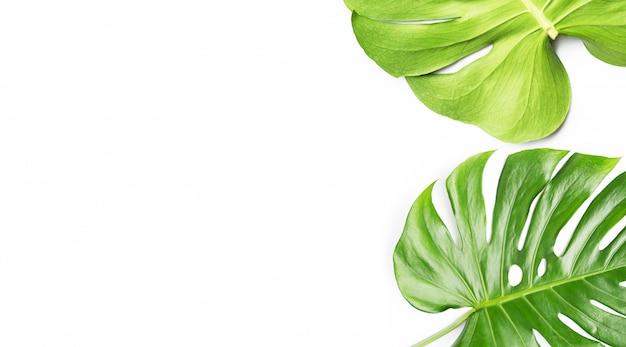 白い背景のモンステラ植物の葉 Premium写真