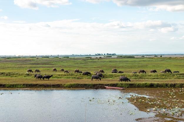 多くの水牛が湿地で草を食べています。 Premium写真