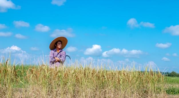 Крестьяне собирают урожай на рисовых полях. день яркого неба Premium Фотографии