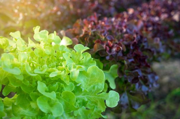 有機野菜栽培区画と水耕野菜 Premium写真