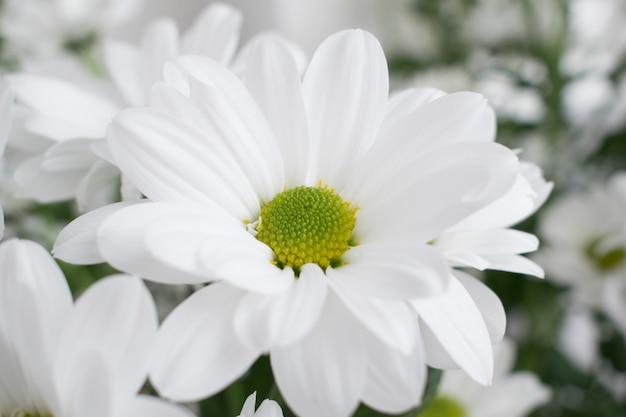Цветы хризантемы. Premium Фотографии