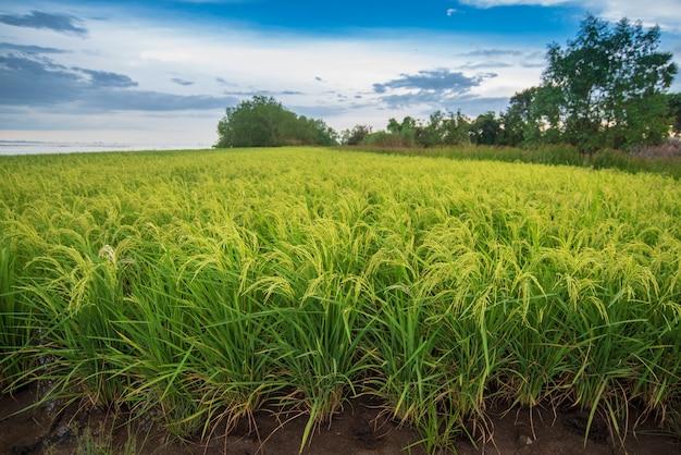 Рисовое поле с ярким голубым небом Premium Фотографии