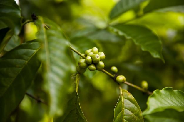 葉とコーヒーの木の枝にコーヒー豆 Premium写真