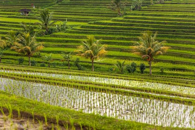 バリ島南東部のジャティルウィの田んぼ Premium写真