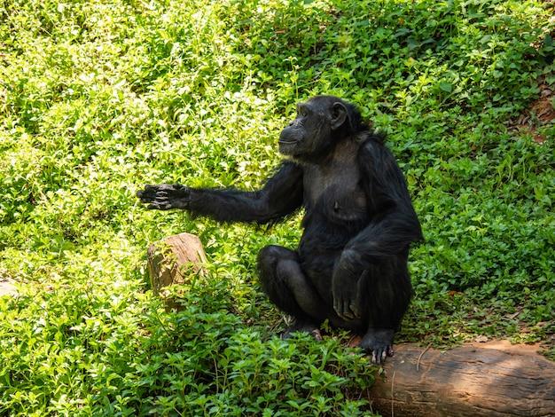 チンパンジーは非常に知的な動物です Premium写真