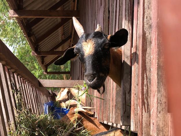 タイの農場でのヤギ Premium写真