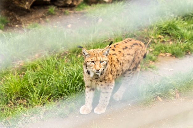 Рысь в альпийском зоопарке Premium Фотографии
