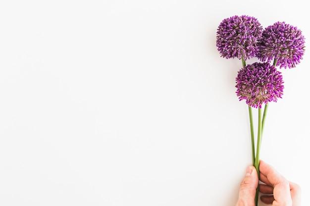 人間の手で白い背景に隔離された紫色のアリウム Premium写真