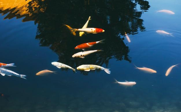 Школа причудливого карпа, плывущего в пруду Бесплатные Фотографии