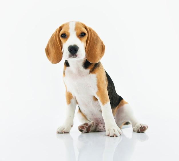 ビーグル犬、白い背景で座っている 無料写真
