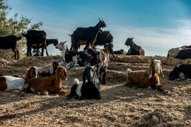インド、ラージャスターン州のヤギ農業 無料写真