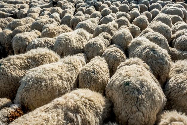 インドでの羊の群れ 無料写真