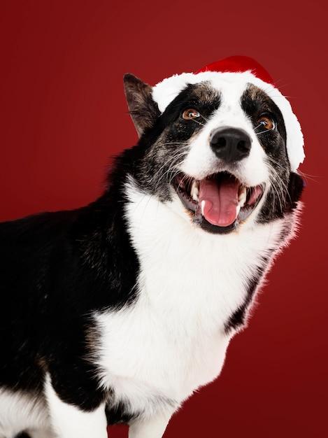 クリスマスの帽子を入れたカーディガンウェールズコーギー 無料写真