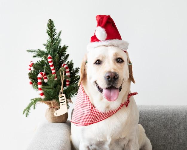 かわいいラブラドールレトリーバーは、クリスマスの帽子 無料写真