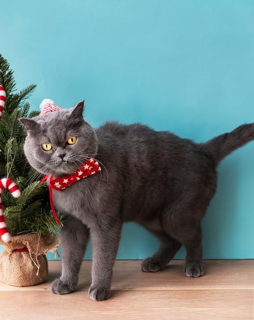 クリスマスを祝う赤い弓を身に着けているスコットランドの倍の猫 無料写真