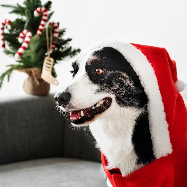 クリスマスの衣装を着たウェールズコーギーのカーディガン 無料写真