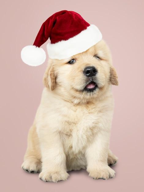 かわいいゴールデンレトリーバーの子犬の肖像画、サンタの帽子 無料写真