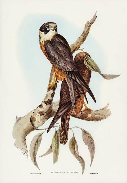 オーストラリアの鳥 無料写真