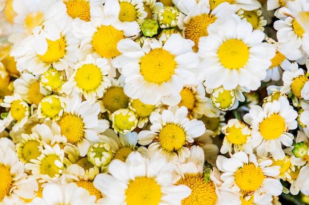 白い菊の背景は、テクスチャ背景 無料写真
