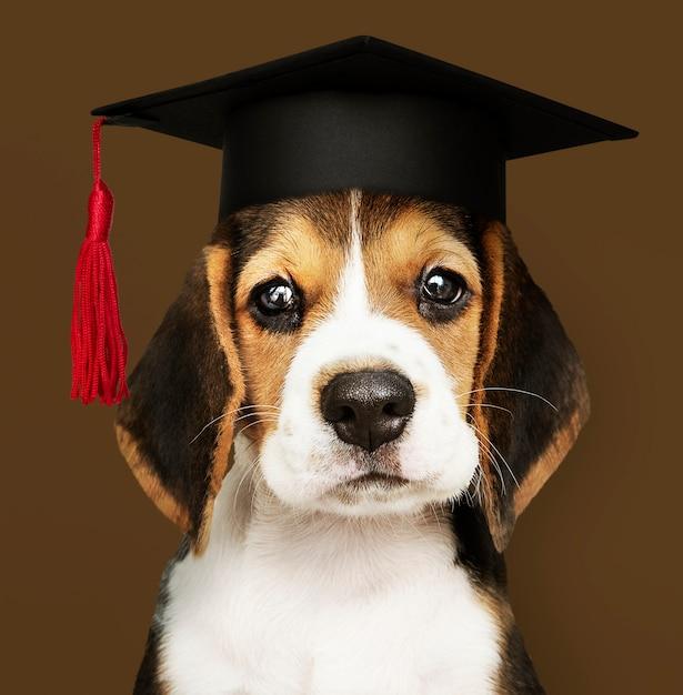 卒業の帽子でかわいいビーグル子犬 無料写真