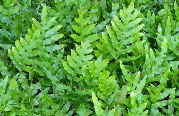 ポリポジウムダイバーシフォリウムの水平葉の質感 Premium写真