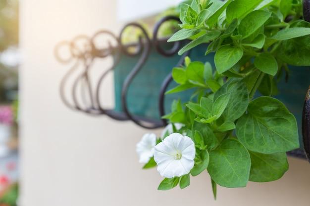 Белые цветы петунии с зелеными листьями украшают здание. Premium Фотографии