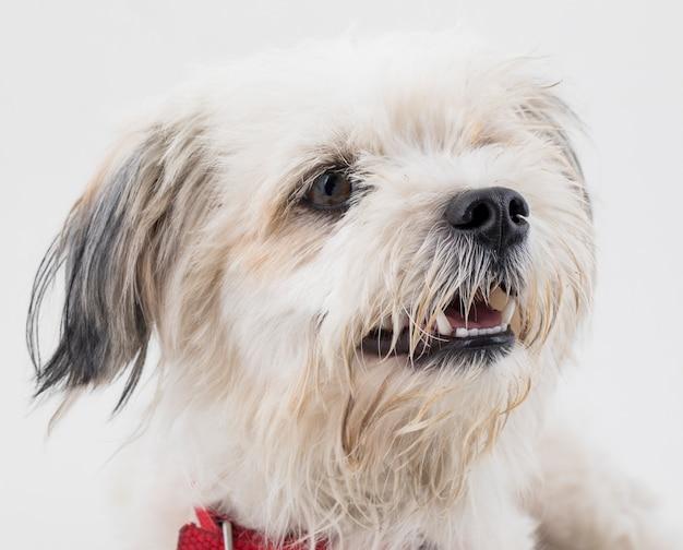 白い背景の上のマルタ犬の子犬犬 Premium写真