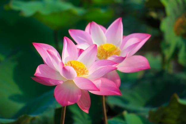 咲く美しいピンクの蓮の花 Premium写真