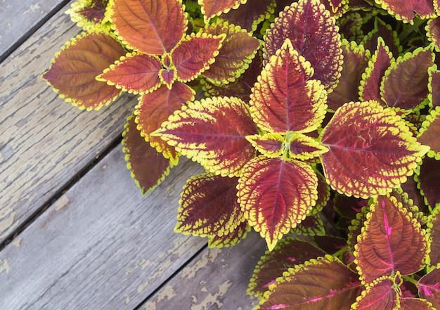 クリスマスの花、緑とピンクのポインセチアの葉の古い木製のテーブルの背景 Premium写真