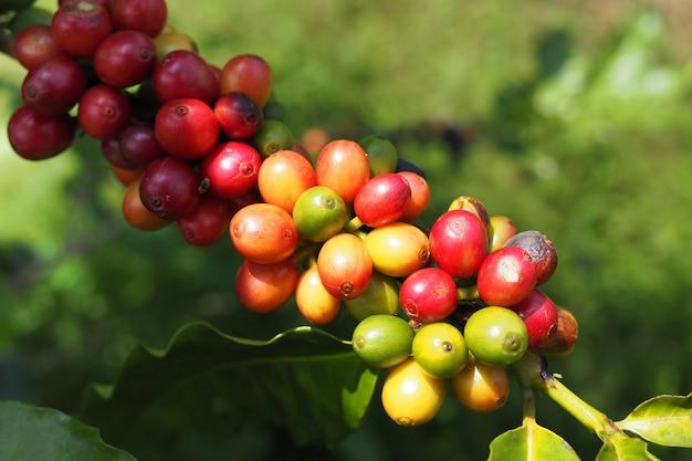 庭の木にグリーと新鮮なコーヒー豆を残します Premium写真