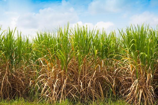 農場での砂糖産業のサトウキビ生産 Premium写真