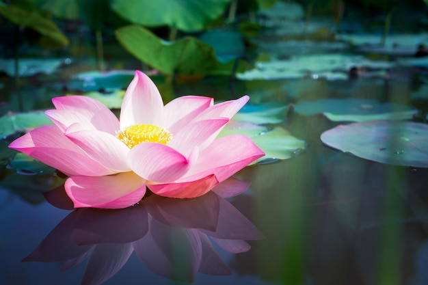 背景の自然の緑の葉と美しいピンクの蓮の花 Premium写真