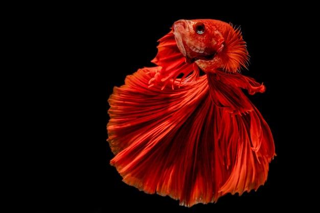 Сиамские боевые рыбы Premium Фотографии