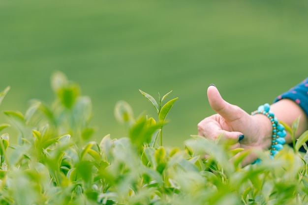 Сбор хороший зеленый чай лист по утрам, крупным планом руки женщины. Premium Фотографии