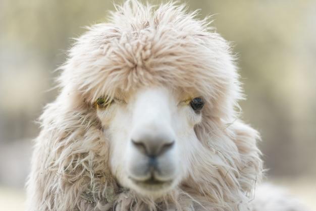 農場でアルパカの顔の拡大、目に焦点を当てる。 Premium写真