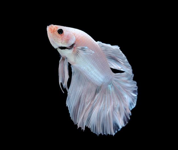 Белая бетта рыба на белом фоне Premium Фотографии