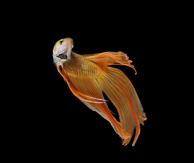 Бетта рыбы на белом фоне Premium Фотографии