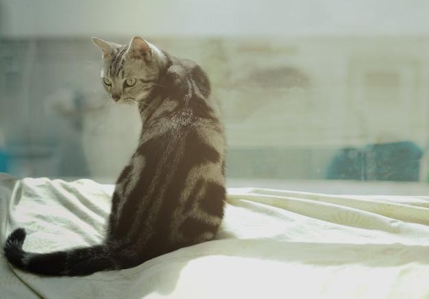ベッドに座っている国内アメリカの短い髪の猫の肖像画。 Premium写真