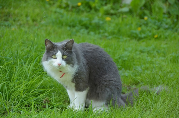 裏庭に座っている長髪の猫の肖像画。 Premium写真