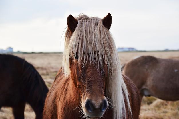 カメラを見てアイスランドの馬の肖像画。 Premium写真