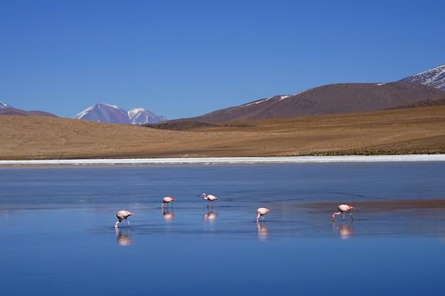 フラミンゴは自然に湖で食べています。 Premium写真