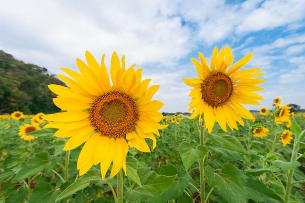 曇りの青い空と緑の山とひまわり畑の美しい風景 Premium写真