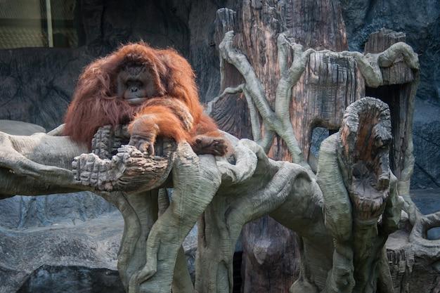 Орангутан лежал на камне Premium Фотографии
