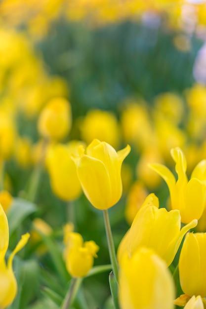 Красивый желтый тюльпан цветы в саду Premium Фотографии