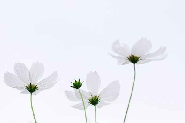 美しいソフトセレクティブフォーカスピンクと白のコスモスの花のフィールド Premium写真