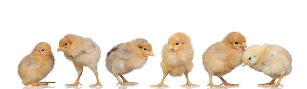 イースターで黄色の鶏の会議 Premium写真