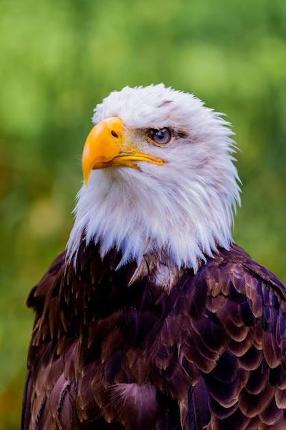 Портрет белоголового орлана в природе Premium Фотографии